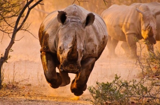 rhino-600x396